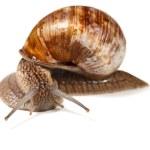 Постер, плакат: Curious snail