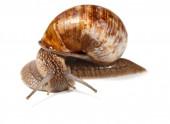 Curious snail — Stock Photo