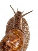Snail rear view — Stock Photo