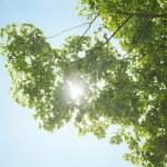 Sunbeams through maple crown — Stock Photo #57894041