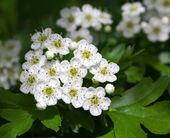 White mayblossom inflorescence — Stock Photo