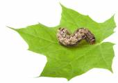 Caterpillar on maple leaf — Foto Stock