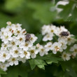 Flower beetle on blooming whitethorn — Stock Photo #67760443