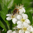 Bee on blooming whitethorn — Stock Photo #67760481