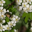 Beetle on white thorn flowers — Stock Photo #67760487