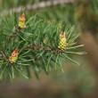 Green cones on pine twig — Stock Photo #71084619