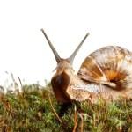 Garden snail stare from green moss — Stock Photo #71084719