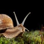 Macro of garden snail in moss — Stock Photo #71084727