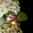 Cockchafer on hawthorn inflorescence — Stock Photo #71084749