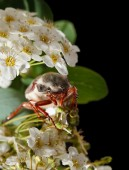 Cockchafer on hawthorn inflorescence — Stock Photo