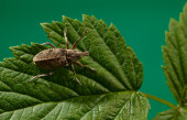 Snout weevil on leaf — Stock Photo