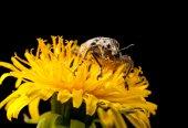 Snout beetle  on dandelion — Stock Photo