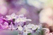 Pastel lilacs — Stok fotoğraf