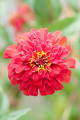 Zinnia flower  — Stock Photo