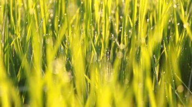 Rice grass with dew in the morning — Stock Video