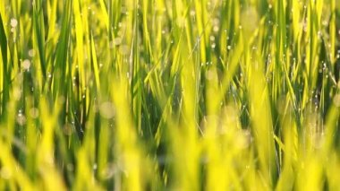 Rice grass with dew in the morning — 图库视频影像