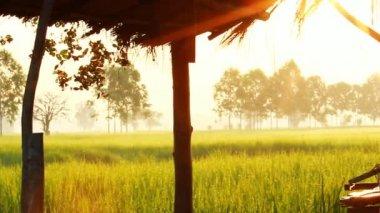 Farm hut in rice field — Stock Video