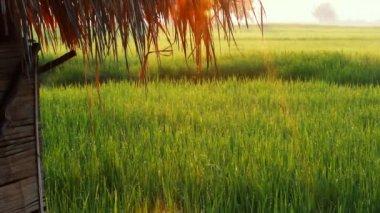 Little farm hut in rice field — Stock Video