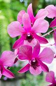 Orchid (Phalaenopsis ) — Stock Photo