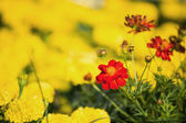 Little yellow flowers — Stock Photo
