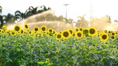 Sunflower field during sprinkling water , Pan camera — Stock Video