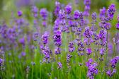 Selective focus field lavender flowers — Stock Photo