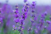 Field lavender flowers — Stock Photo