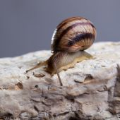 Snail crawling stone — Stock Photo