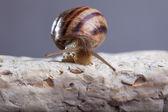 Snail crawling stone — Stock Photo