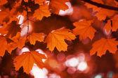 Maple leaf red autumn — Stock Photo