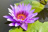 Waterlily or Lotus Flower in pond. — Foto de Stock
