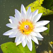 Waterlily or Lotus Flower in pond. — Stock Photo