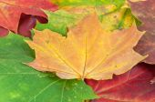 Background made of colorful maple leaves — Foto de Stock