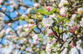 Closeup of flowering crabapple tree — Stock Photo