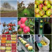 Apple harvesting collage — Photo