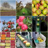 Apple harvesting collage — Stok fotoğraf