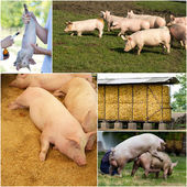 Pig farm collection — Stock Photo