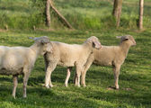Trimmed sheep with lamb — Stock Photo