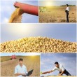Soybean harvest — Stock Photo #55393653