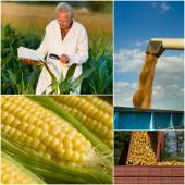 Corn collection — Stock Photo