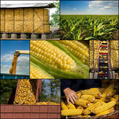 Corn collection — Stockfoto