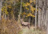 Cervo nella foresta — Foto Stock