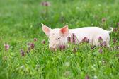 Piglet on grass — Stock Photo