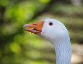Goose portrait — Stock Photo