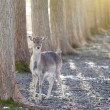 Fallow deer — Stock Photo #61579173