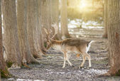 Fallow deer in forest — Stock Photo