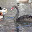 Black swan with wild ducks — Stock Photo #61639897