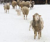 Sheep herd on snow — Stock Photo
