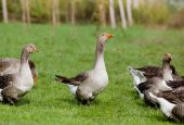 Graylag geese — Stock Photo