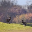 Two red deer on spring light — Stock Photo #69618889